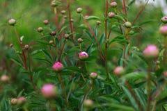 La natura dell'Estremo Oriente fiorisce le fioritura-peonie Fotografia Stock
