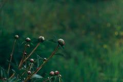 La natura dell'Estremo Oriente fiorisce le fioritura-peonie Fotografia Stock Libera da Diritti