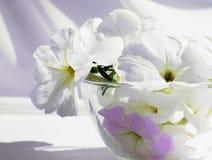 La natura morta con le petunie bianche su un tessuto di bianco fiorisce in briciolo Fotografia Stock Libera da Diritti