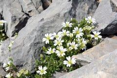 La natura oscilla, piccoli fiori bianchi negli abbracci di pietra Immagine Stock Libera da Diritti