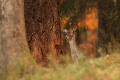 La natura selvaggia della repubblica Ceca Bella foto animale Immagini Stock Libere da Diritti