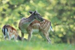La natura selvaggia della repubblica Ceca Bella foto animale Fotografia Stock