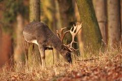La natura selvaggia della repubblica Ceca Bella foto animale Fotografia Stock Libera da Diritti