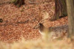 La natura selvaggia della repubblica Ceca Bella foto animale Immagine Stock Libera da Diritti
