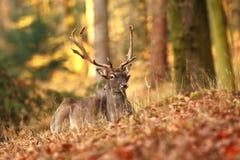 La natura selvaggia della repubblica Ceca Bella foto animale Fotografie Stock