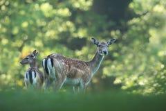 La natura selvaggia della repubblica Ceca Bella foto animale Fotografie Stock Libere da Diritti