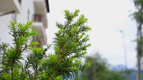 La naturaleza, abeto ramifica primer Plantas, botánica almacen de metraje de vídeo