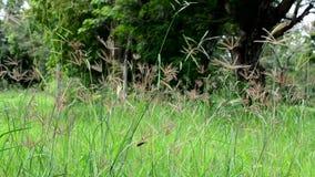 La naturaleza contiene la ocsilación de la hierba y el sonido de insectos y de pájaros almacen de metraje de vídeo