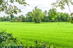La naturaleza del campo del arroz fotografía de archivo