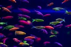 La naturaleza del color de los pescados del resplandor del Danio relaja animales domésticos a casa Imágenes de archivo libres de regalías