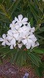 La naturaleza florece fresco blanco fotos de archivo