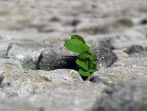 La naturaleza hace su manera, planta que se rompe a través de las piedras Fotografía de archivo
