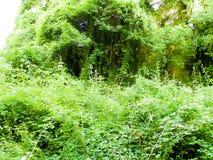 La naturaleza salvaje, hiedra se va como fondo de la naturaleza Fotos de archivo libres de regalías