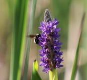 La naturaleza tiró de una abeja en la lavanda francesa Fotos de archivo
