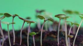 La naturaleza verde maravillosa de la germinación planta los brotes de la evolución de la semilla que crece en el concepto de la  almacen de metraje de vídeo