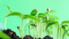 La naturaleza verde maravillosa de la germinación planta los brotes de la evolución de la semilla que crece en el concepto de la  metrajes