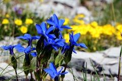 La nature bascule, de petites fleurs bleues dans les étreintes en pierre photos libres de droits