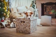 La Navidad del perro, Año Nuevo, Jack Russell Terrier Imágenes de archivo libres de regalías