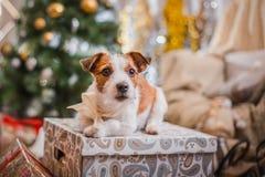 La Navidad del perro, Año Nuevo, Jack Russell Terrier Foto de archivo