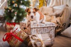 La Navidad del perro, Año Nuevo, Jack Russell Terrier foto de archivo libre de regalías