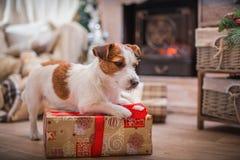 La Navidad del perro, Año Nuevo, Jack Russell Terrier Fotos de archivo libres de regalías