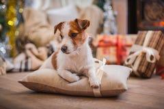 La Navidad del perro, Año Nuevo, Jack Russell Terrier Fotografía de archivo libre de regalías