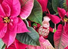 La Navidad - fondo verde, poinsetia y cocinero divertido Santa Claus Imagen de archivo libre de regalías