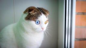 La Navidad - pequeño gato con diverso color de los ojos Foto de archivo libre de regalías
