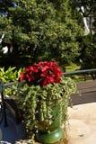 La Navidad Poinsetttia florece en jardín en Funchal en la isla de Madeira Foto de archivo