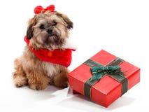 La Navidad que se sienta Shi Poo fotografía de archivo