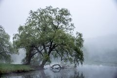 La nebbia delicata si rivolta uno stagno di Massachusetts e spazzola le foglie di grande albero che propende l'acqua fotografia stock libera da diritti
