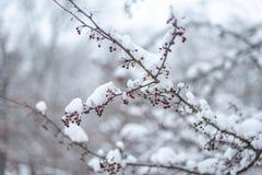 la neige a couvert la branche avec les baies rouges images libres de droits