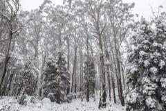 La neige a couvert des arbres d'eucalyptus dans l'Australie Image stock