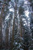 La neige a couvert des arbres dans la forêt d'hiver de route image stock