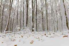 La neige a couvert des arbres dans la forêt en hiver photographie stock