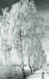 La neige a couvert des arbres de bouleau Photographie stock