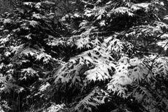 La neige a couvert des arbres de pin Image libre de droits