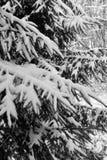 La neige a couvert des arbres de pin Photos libres de droits