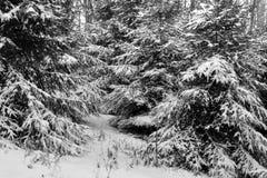 La neige a couvert des arbres de pin Images libres de droits