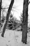 La neige a couvert des arbres de pin Photographie stock