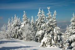 La neige a couvert des arbres en hiver carpathien Photographie stock
