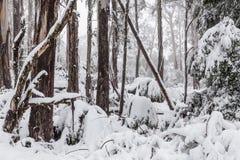 La neige a couvert des arbres et des fougères d'eucalyptus dans l'Australie Photo stock