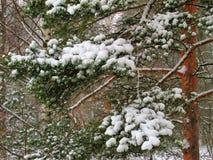 La neige a couvert des branches de pin Images libres de droits