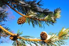 La neige a couvert des cônes de pin Image libre de droits