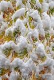 La neige a couvert des feuilles d'arbre de hêtre en automne photos libres de droits