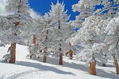 La neige a couvert des pins Photos stock