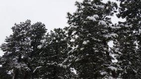 La neige a couvert des pins Images libres de droits