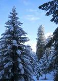 La neige a couvert des pins dans un paysage d'hiver de début de la matinée Photographie stock libre de droits