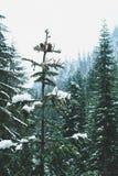La neige a couvert des pins, lac snow, Washington image libre de droits