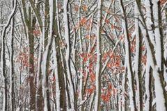 La neige a couvert la forêt d'érable Photographie stock libre de droits